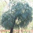 Cussonia paniculata subsp sinuata