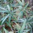 Cyperus albostriatus variegated
