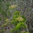 Cyphostemma cirrhossum flowers Kwandwe