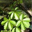 Cyphostemma cirrhossum