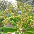 Cyphostemma cirrhossum fruit