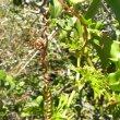 Cyphostemma cirrhossum tendrils