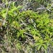 Cyphostemma cirrhossum vine
