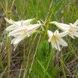 Cyrtanthus clavatus flowers