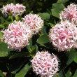 Dais cotinifolia flower