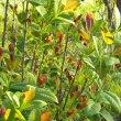 Dais cotinifolia new growth