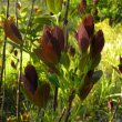 Dais cotinifolia new leaves