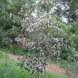 Dais cotinifolia tree