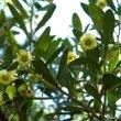 Diospyros dichrophylla