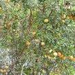 Diospyros dichrophylla fruit