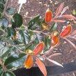 Diospyros whyteana foliage