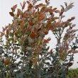 Diospyros whyteana new growth