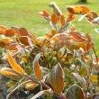 Diospyros whyteana young foliage