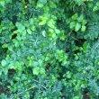 Dovyalis rotundifolia foliage