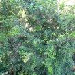 Dovyalis rotundifolia form