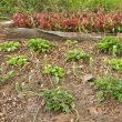 Drimiopsis maculata garden