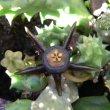 Duvalia caespitosa  flower