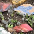 Duvalia caespitosa overwatered