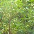 Eckebergia capensis flower mass