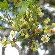 Eckebergia capensis  flower spray