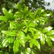 Eckebergia capensis foliage