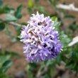 Ehretia rigida flower