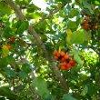 Ehretia rigida foliage