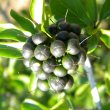 Ehretia rigida fruit