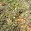 Ehretia rigida wild
