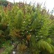 Elegia capensis foliage