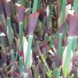 Elegia capensis Lower stem
