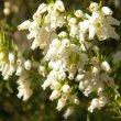 Erica caffra flower