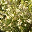 Erica caffra flower mass