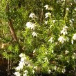 Erica caffra foliage