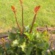 Erythrina humeana buds