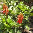 Erythrina humeana  foliage
