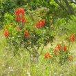 Erythrina humeana flowerheads
