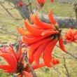 Erythrina lysistemon flower close