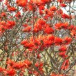 Erythrina lysistemon flower mass