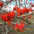 Erythrina lysistemon flowers