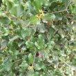 Euclea undulata flower