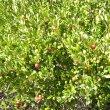 Euclea undulata fruit