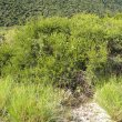 Euclea undulata habitat