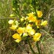 Eulophia speciosa flw stems
