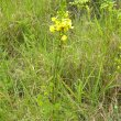 Eulophia speciosa grass