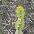 Euphorbia coerulescens buds