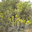 Euphorbia coerulescens form
