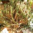 Euphorbia enopla  var. enopla