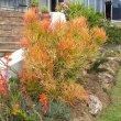 Euphorbia tirucalli firesticks