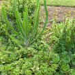 Euphorbia triangularis seedling